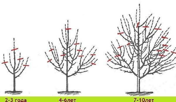 Обрезка колоновидной яблони осенью: схема, инструкция и видео для начинающих как правильно обрезать