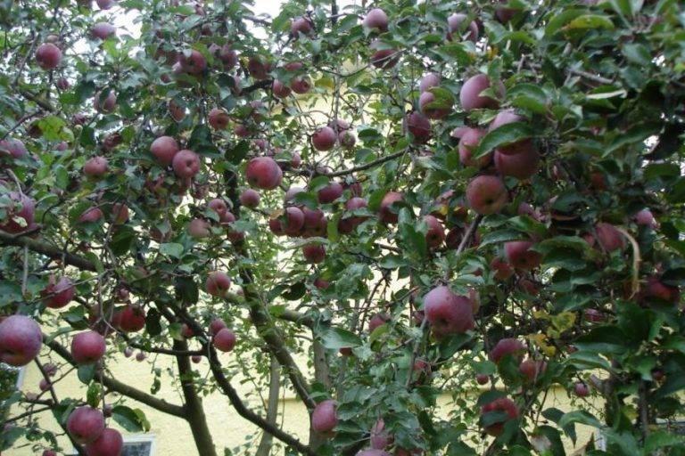 Красивая и высокоурожайная яблоня орлинка