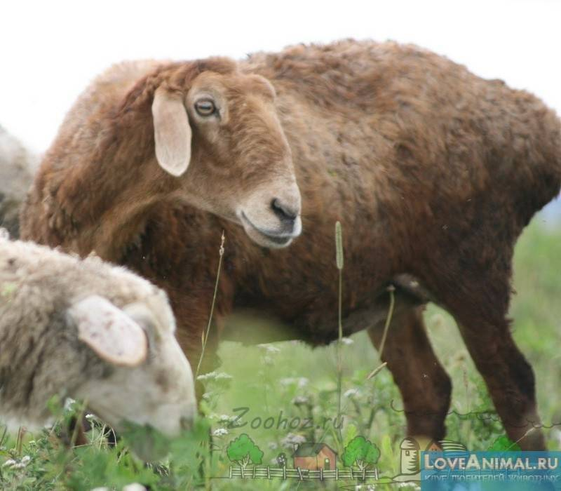 ᐉ самые крупные овцы в мире - zooon.ru
