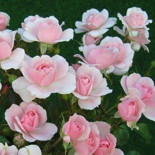 Что такое полиантовая роза, и какие ее сорта достойны внимания