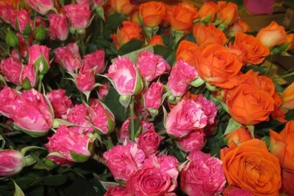 Роза: посадка и уход в открытом грунте, выращивание и сочетание в ландшафтном дизайне, фото, размножение сорта