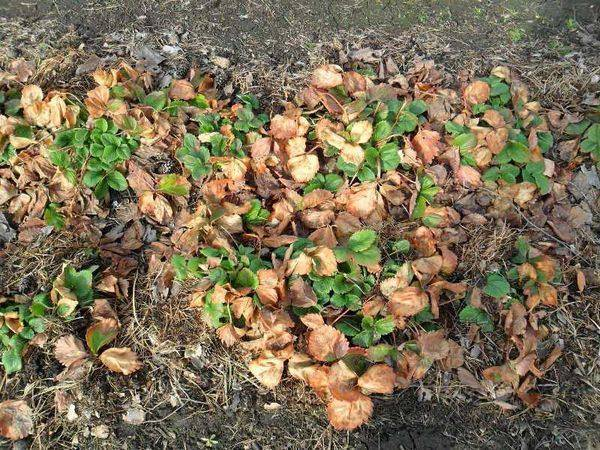 Подкормка клубники весной! ни в чём не отказываю своей клубничке, получаю обильный урожай больших и вкусных ягод. секреты хорошего урожая.