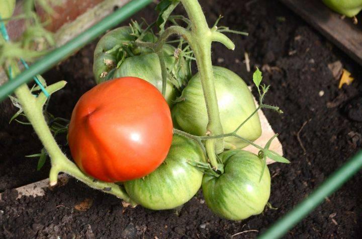 Что делать с помидорами, если каждый день идет дождь