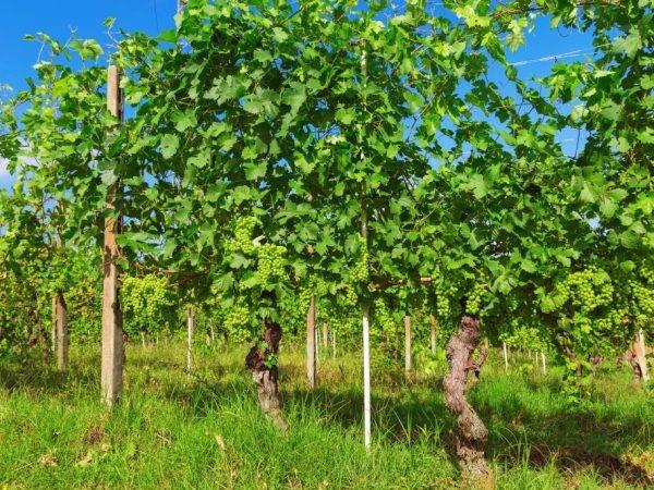 Виноград подарок ирине: описание сорта и характеристики, посадка и уход, отзывы