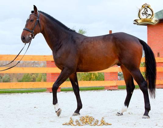 Все о тракененской лошади: обзор породы, описание и характеристика с фото и видео