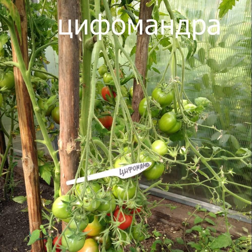 """Томат """"мамонт"""": характеристика и описание сорта с фото и отзывы об урожайности"""