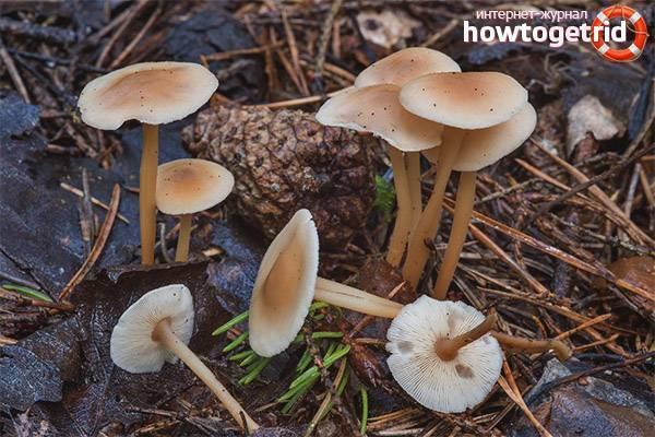 Коллибия масляная (collybia butyracea) или коллибия каштановая: фото, описание и как готовить этот гриб