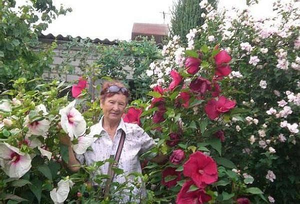 Гибискус садовый: уход и размножение, посадка в открытом грунте, фото, выращивание в подмосковье, как зимует в саду