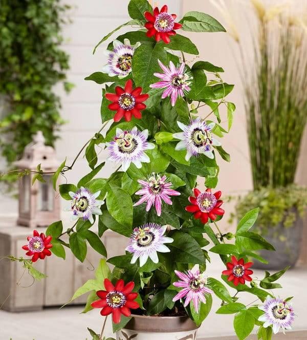 Цветок — пассифлора комнатная: сорта, уход, выращивание из семян и черенками. что такое пассифлора, как выглядит: приметы и суеверия, фото
