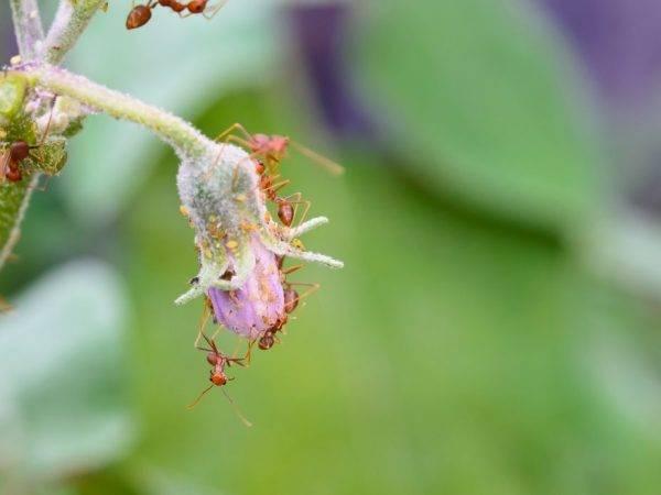 Почему на рассаде баклажан появляются светлые пятна на листьях