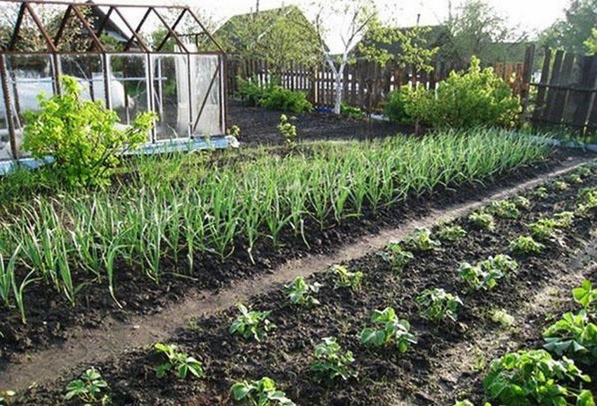Как вырастить крупный чеснок на огороде: правила посадки и ухода