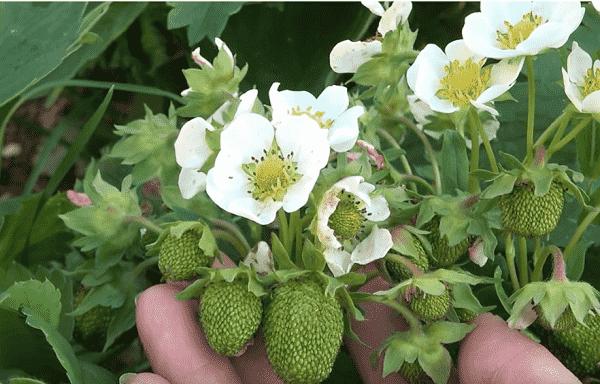 Уход за клубникой во время цветения и плодоношения. подкормка золой, удаление усов, размножение и полив летом