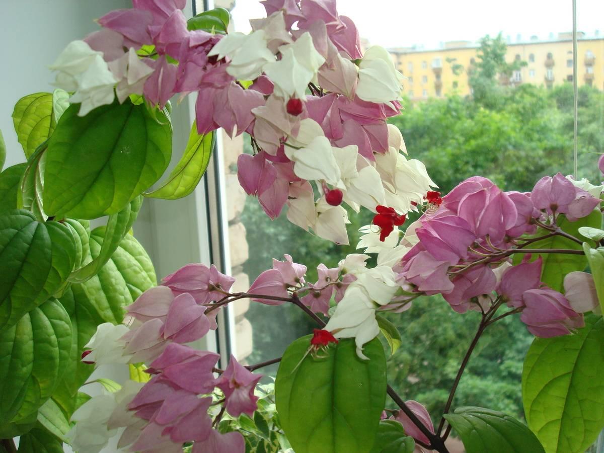 Необычное домашнее растение — клеродендрум прекраснейший! фото, особенности и уход