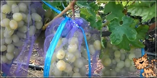 Виноград дарья: описание сорта
