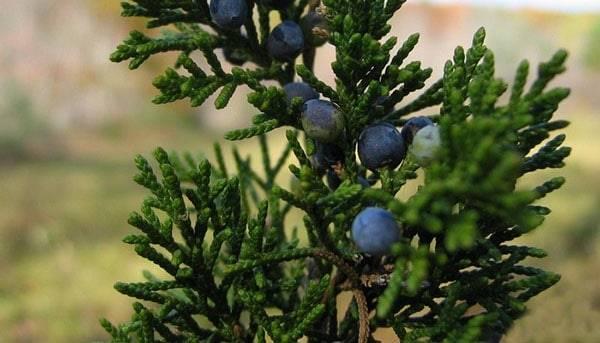 Можжевельник стрикта: особенности сорта, уход и выращивание (130 фото и видео)