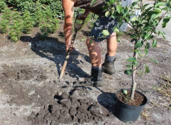 Пересадка яблони осенью на новое место. можно ли и когда  пересаживать?
