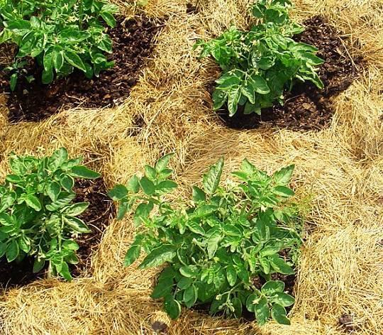 Внекорневая подкормка картофеля после всходов и во время цветения: как и чем удобрять