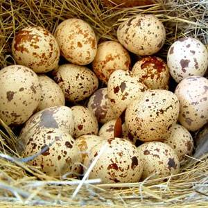 Тонкая и мягкая скорлупа у куриных яиц, что делать