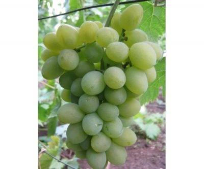 """Виноград """"кишмиш"""": кишмишные сорта с описанием и фото"""