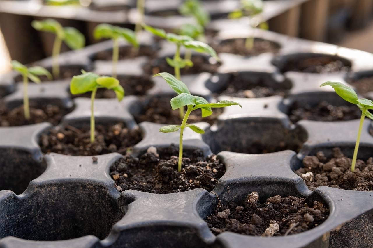 Сколько дней всходит базилик: какое время после посева в открытом грунте нужно, зависит ли от места посадки, как быстро или долго это происходит, а еще фото травы русский фермер