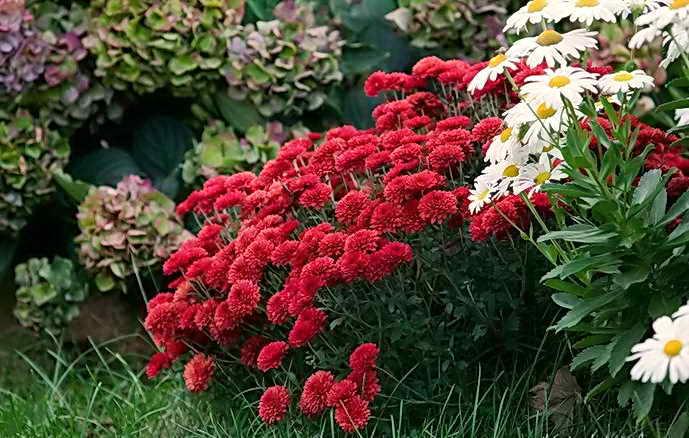 Нужно ли выкапывать хризантему на зиму, как сохранить в открытом грунте
