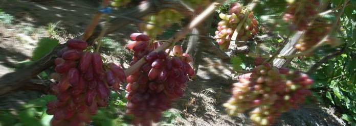 """Виноград """"маникюр фингер"""": описание сорта, фото, характеристики, выращивание"""