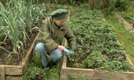 Как обрабатывать клубнику осенью? правильная пересадка и необходимый уход