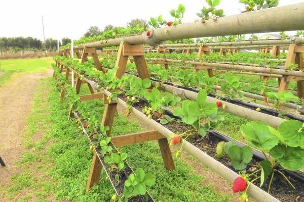 Вертикальные грядки: как получить большой урожай клубники на маленьких участках