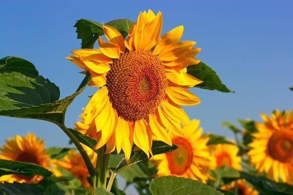 Сажаем декоративный подсолнух на даче — посадите собственное солнце