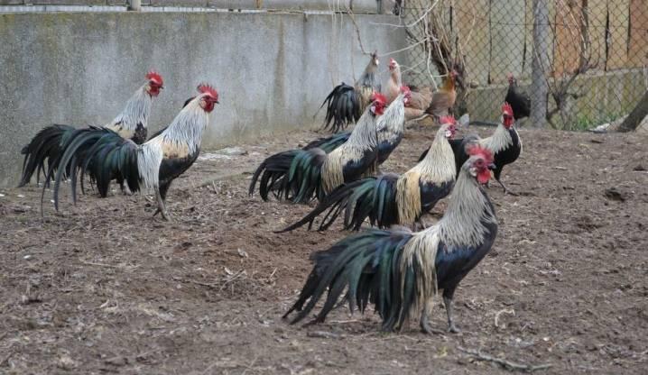 Аристократы куриного рода — декоративная порода феникс (йокогамская)
