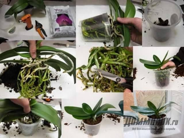 Белая орхидея: уход в домашних условиях, как пересаживать и удобрять