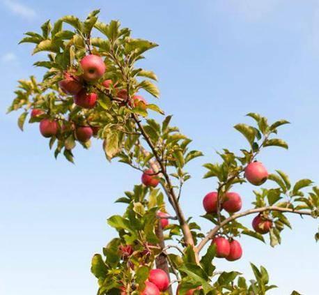 Описание сорта яблони ветеран