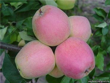Сорт яблок кандиль орловский описание, фото, отзывы