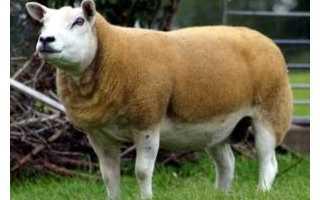 Описание овец породы суффольк - дневник фермера ferma-lux.ru