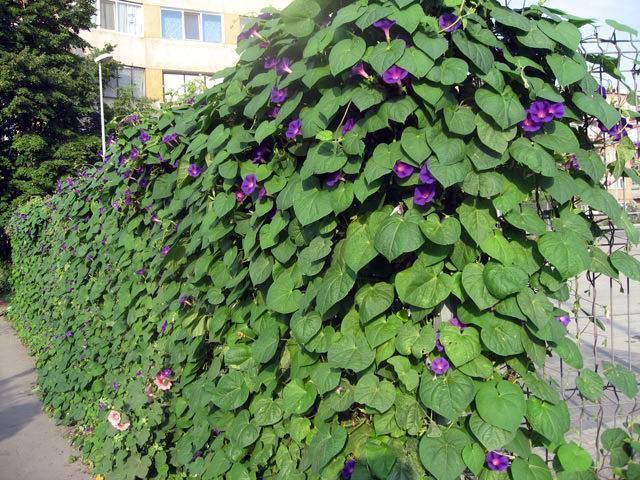 Быстрорастущие вьющиеся растения - обзор неприхотливых многолетних растений (130 фото)