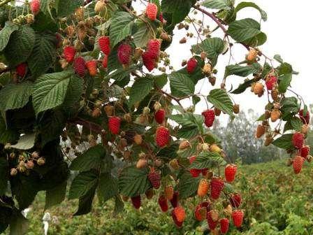 Малиновое дерево или малина штамбовая – дачные дела