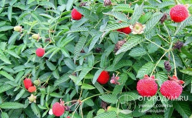 Тибетская малина: описание, фото, варианты применения + особенности посадки, выращивания и размножения, отзывы садоводов