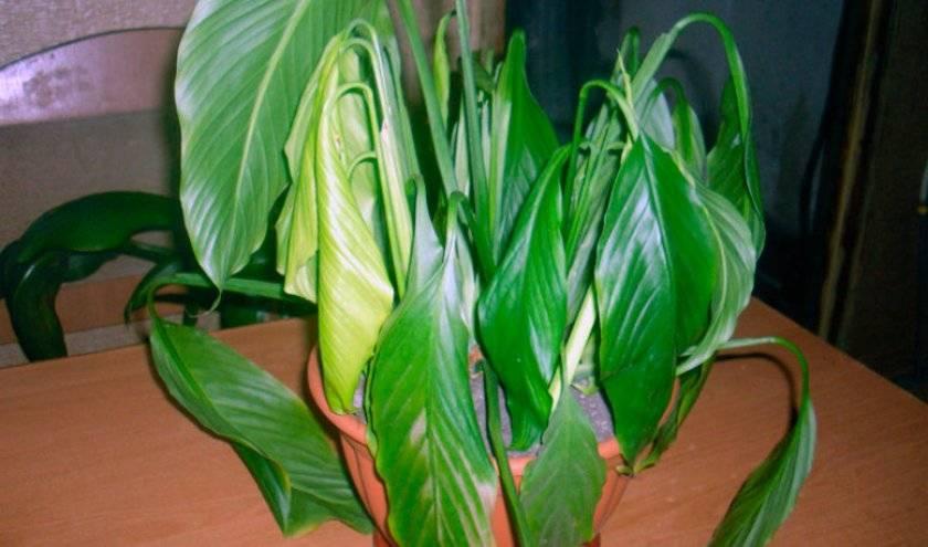 Каким образом лечить спатифиллум при болезнях листьев и как выглядят на фото пораженные участки растения?