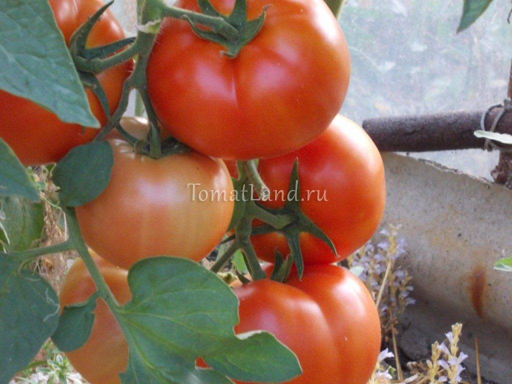 Описание сорта томата ричи, и его характеристики