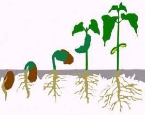 Корневин: применение для растений, инструкция по внесению, свойства