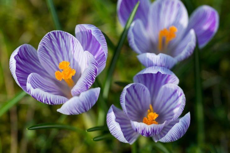 Цветок крокус (шафран): описание, посадка и уход в открытом грунте, способы применения крокусов