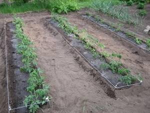 Когда высаживать помидоры — сроки и правила высадки рассады в открытый грунт. лунный календарь 2018 года
