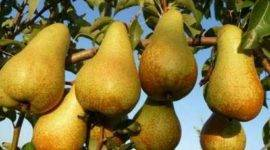 О сорте груши аббат феттель: описание, особенности выращивания, как ухаживать