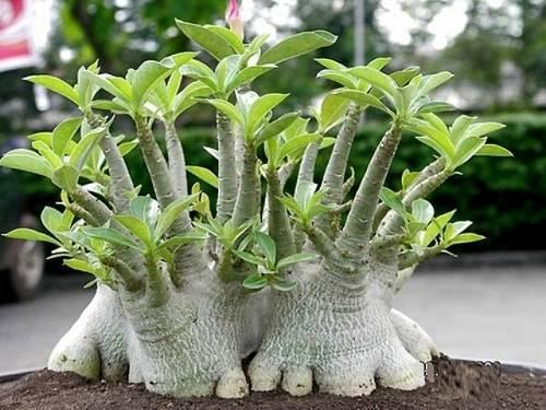 Адениум: суккулент - дерево. домашние виды с фото. правила ухода за растением
