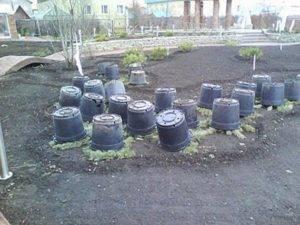 Сибирячки, очень нужны ваши советы - как укрыть на зиму розы и не только.