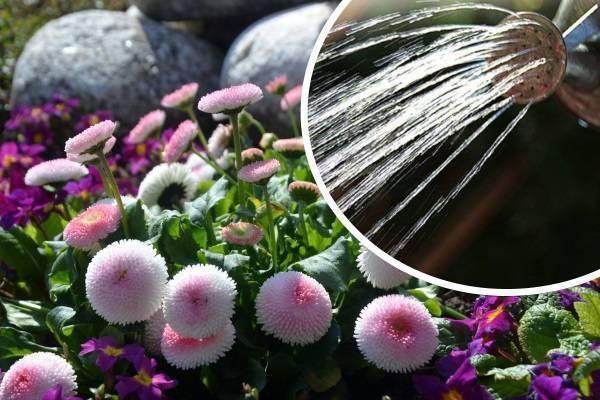 Маргаритки: описание, выращивание, уход (50 фото) +отзывы