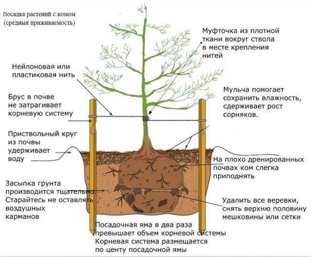 Как посадить грушу весной: пошаговое руководство + видео