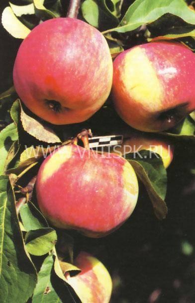 Яблоня свежесть: описание сорта, фото, отзывы