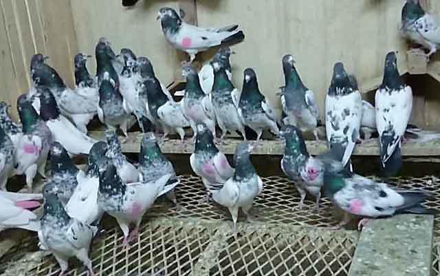 Пакистанские высоколетные голуби: описание, фото породы