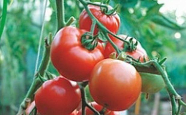 Удобный в выращивании — томат жонглер f1: отзывы об урожайности и подробное описание сорта
